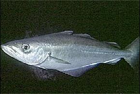Рыба полака описание