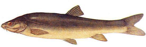 Маринка (Schizothorax)