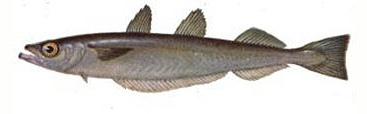 Путассу (Micromesistius)