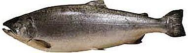 Кижуч (Oncorhynchus kisutch)