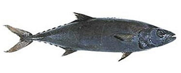 Масляная рыба (Lepidocybium flavobrunneum)
