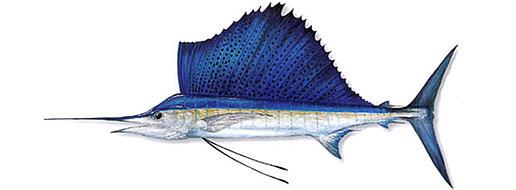 Парусник (Istiophorus)