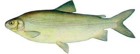 Чир (Coregonus nasus)