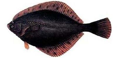 Калкан (Scophthalmus maeoticus)
