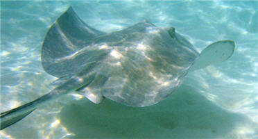 пластиножаберные хрящевые рыбы.