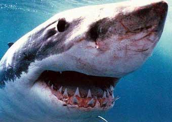Большая белая акула.