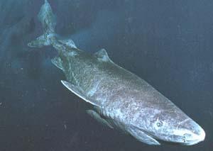 Полярная акула