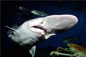Акулы-гоблиныая