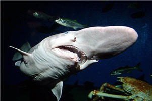 Акулы-гоблины
