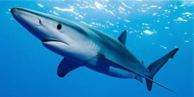 Акула синяя