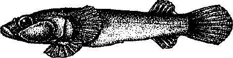 Присоска пятнистая