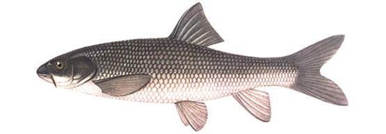 Храмуля (Varicorhinus capoeta)
