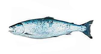 Сима ( Oncorhynchus masu)