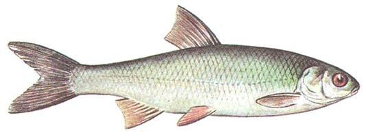 Елец (Leuciscus leuciscus)