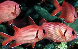 Мурждан, большеглазая рыба-солдат (Myripristis murdjan)