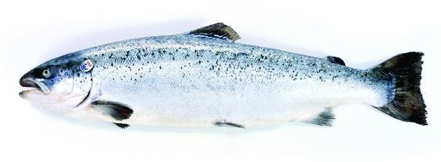В Заполярье прибыла партия мальков лосося из Норвегии